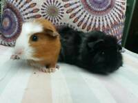 Gorgeous baby guinea pigs