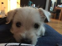 3 month old westie for sale
