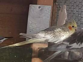 5 months old cockatiel for sale