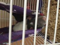 Looking for a good home for my two rats.