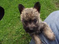 KC Registered Cairn Terrier puppies