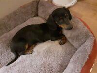 Dachshund black tan miniature