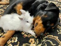8 week Lionhead Male Baby Rabbit - £85
