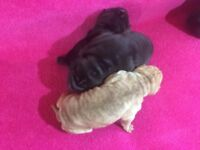 Shar-pei Puppies for sale - 2 black girls and 1 stripy cream boy.