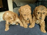 F1b Cockerpoo puppies