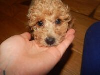 pure breed toy poodle puppies