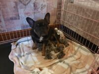 Merle french bulldogs. 4 females left