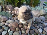 !!!french bulldog!!!