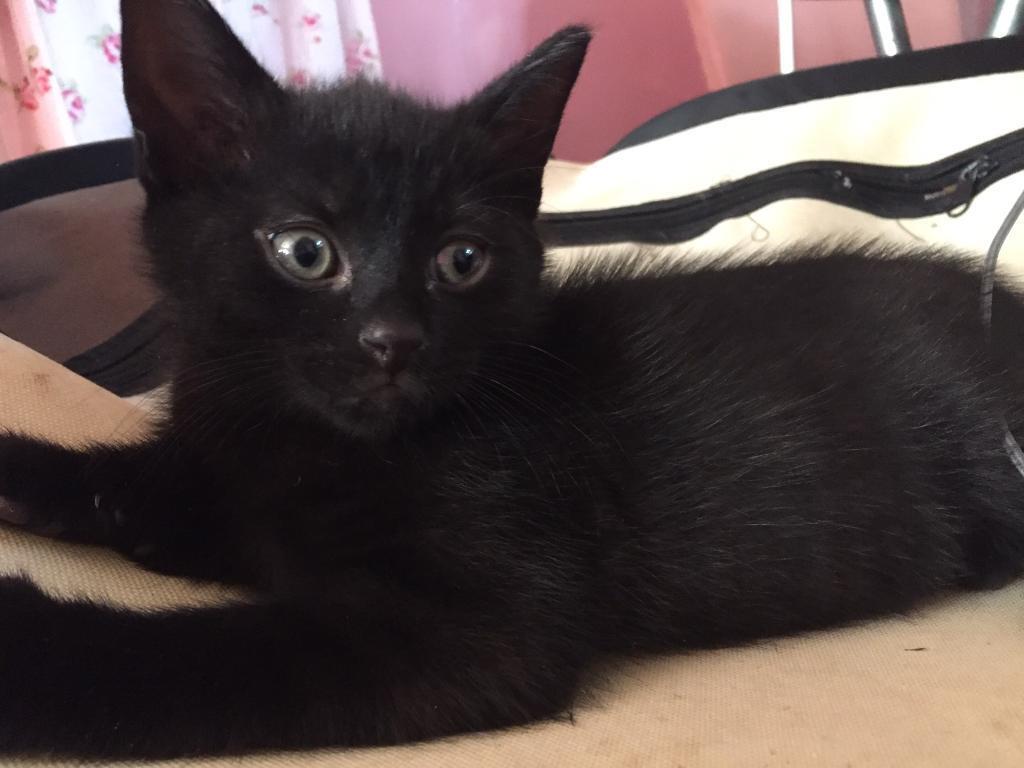 Male rag doll cross black kittens for sale
