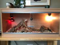 2 Bearded Dragons with Vivarium