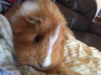 Guinea pig for free