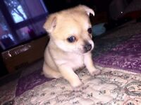 Pomchi x teacup chihuahua puppies