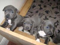 Blue staffys