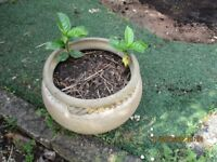 Garden pot with cuttings