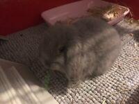 Beautill baby mini lop rabbit 10 weeks