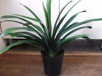 mature clivia house plant