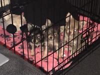 Three beautiful chihuahua puppies for sale