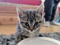 5 month old kitten - Bengal/Maincoon