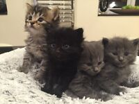 Blue Kittens for Sale