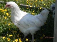 Splash Maran Pullet chicken / hen