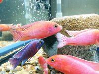 Malawi Cichlids, Tropical Fish