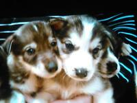 Cute All White Siberian Husky Puppies