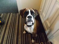 7 month old Boxer puppy sadley for sale