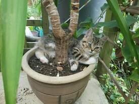 8 week old female tabby kitten