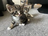 Kittens for sale - tabby cat mix