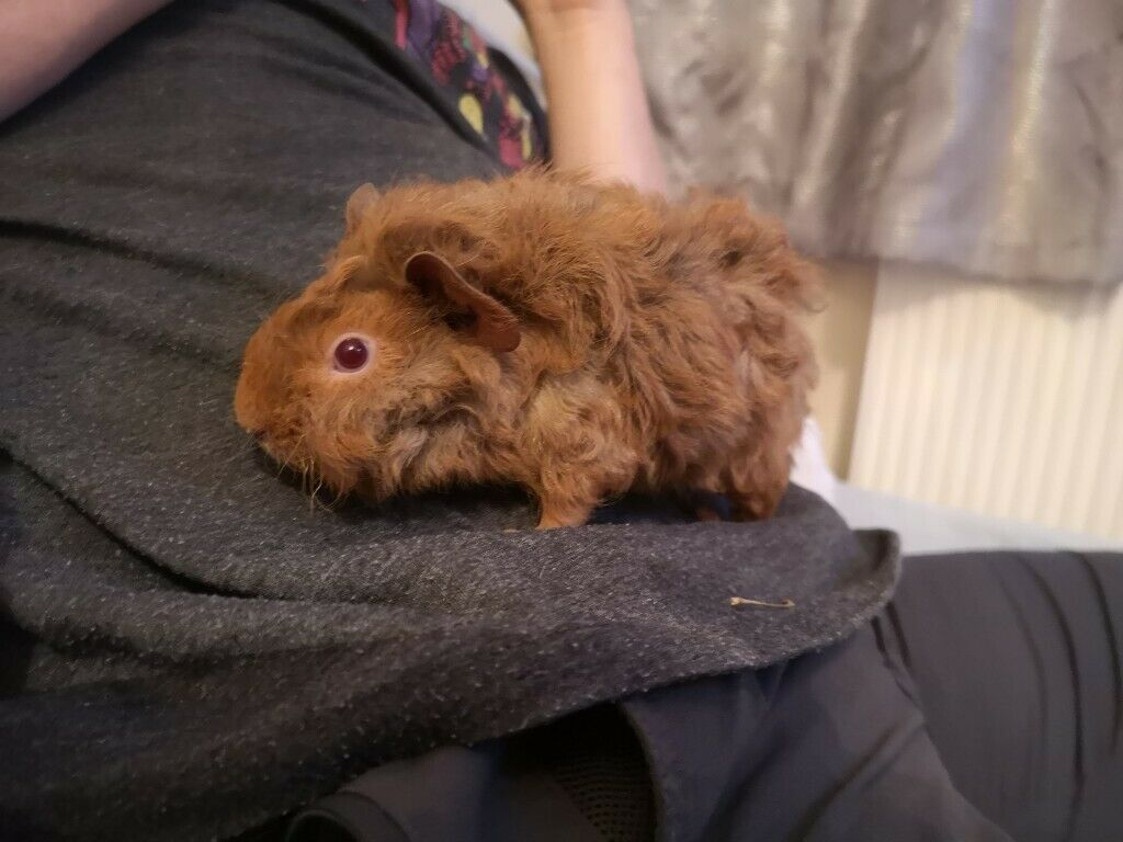 Baby Lunkarya X Guinea pigs for sale | in Accrington, Lancashire | Gumtree