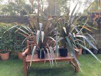Stunning huge RAINBOW Phormium Plants