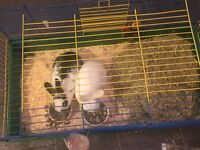 2 female rabbits with indoor cage & outdoor cages all complete