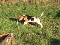Tri colour beagle bitch pup
