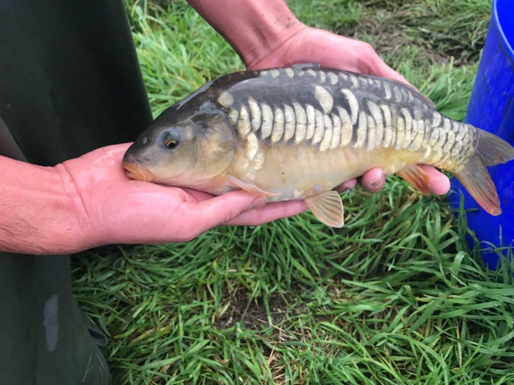 Large Carp - Mirrors and Commons - 3-6lb - Delivery available, pond clearance. Fisheries Ponds