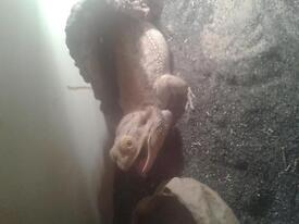 Bearded dragon an fill set up need gone today offers a 100 an its urs