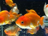 Gold fish cold water fish Tank aquarium