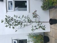 Live Evergreen plant Photinia Red Robin tree - 2 metres tall