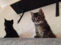 *****Beautiful kittens 8 weeks, flea treated, wormed, very healthy and playful *****
