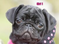 KC reg pug puppy girl - Take Esme home with you today she is fully vaccinated