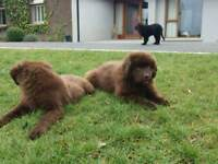 Newfoundland pups puppies dogs puppy