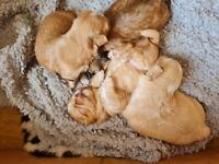 Beautiful shichon pups