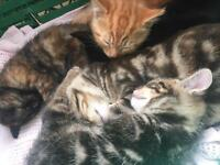 Kittens for sale £20