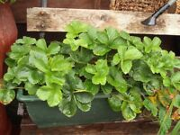 2ft Long Trough or Strawberry Plants (with plantlets attached)