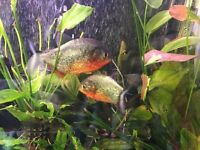 4 red belly piranha