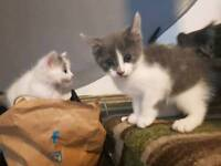 2 stunning blue and white kittens