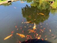 Pond fish for sale