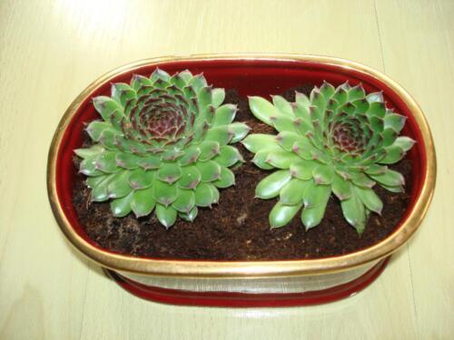 deko pflanzen zimmerpflanze sukkulenten hauswurz dachwurz in west h chst ebay kleinanzeigen. Black Bedroom Furniture Sets. Home Design Ideas