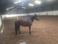 14.2hh bay Irish mare