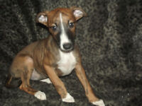 Whippet cross manchester terrier pups