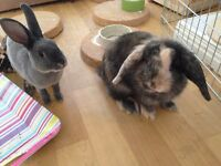 Pair of young bonded rabbits